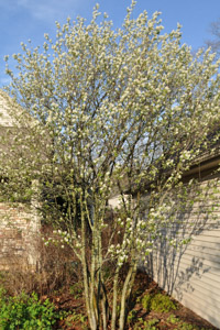 Amelanchier canadensis (Serviceberry) 12 years of pruning