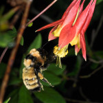 Golden Northern Bumble bee pollinating Red Columbine