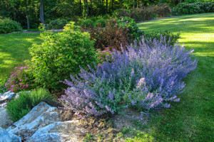 Colorful mixed planting in steep slope bed with Catmint in bloom