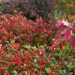 Native shrub community in fall color with Winterberry Holly and Oakleaf Hydrangea in fall color