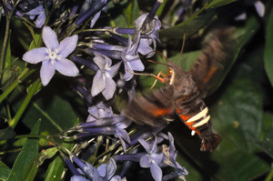 Nessus Sphinx Moth nectaring on Amsonia x 'Blue Ice' flower