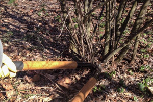 Pruning an errant stem with hand loppers