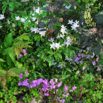 Native plant community with Rhododendron arborescens and Phlox glaberrima in bloom