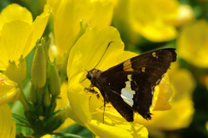 Silver-spotted Skipper nectaring on Sundrops (Oenothera fruticosa)