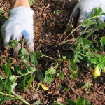 Planting Sundrops (Oenothera) using rooted pieces dug from other location