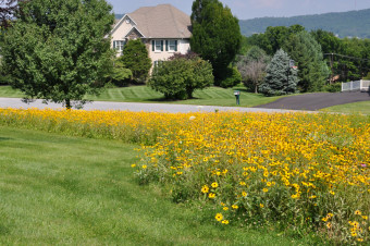 Second year meadow located in a suburban front yard in full Black-eyed Susan bloom