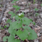 Garlic mustard (Alliaria petiolata) close-up in flower