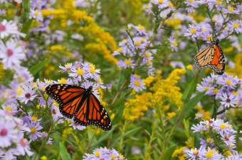 Monarch butterflies nectaring on Asters in meadow