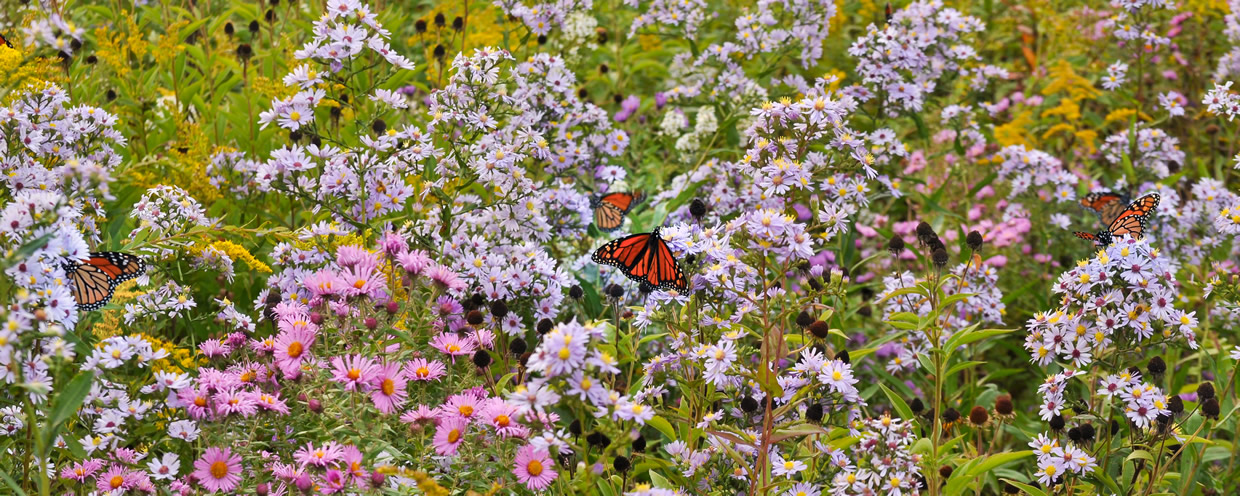 Monarchs nectaring on fall blooming asters in native meadow Lehigh County Pennsylvania