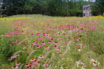 Huge sweep of blooming Purple Coneflower in front yard meadow