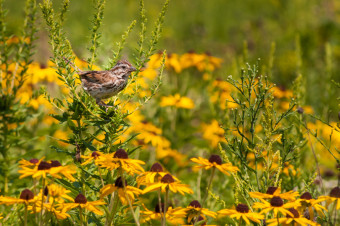 Song sparrow perching in meadow ablaze with Brown-eyed Susan bloom