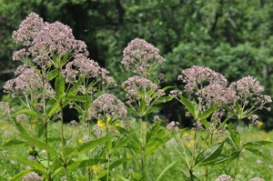 A nice stand of blooming Sweet Joe-pye weed (Eutrochium purpureum)