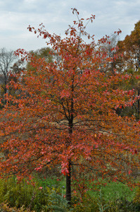 A nicely shaped Blackgum (Nyssa sylvatica) in fall color glory