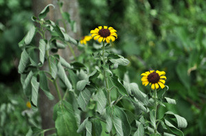Brown-eyed Susan (Rudbeckia subtomentosa) showing wilting and stunted growth from drought